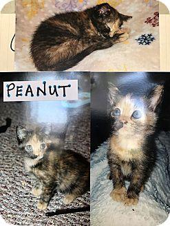 Domestic Shorthair Kitten for adoption in Island Park, New York - Peanut