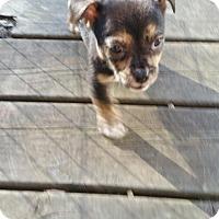Adopt A Pet :: Marley - Rockford, IL