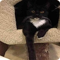 Domestic Mediumhair Cat for adoption in Santa Clara, California - BRYAN