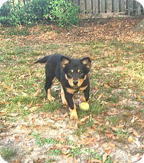 German Shepherd Dog/Australian Shepherd Mix Dog for adoption in Brattleboro, Vermont - Chloe ~ ADOPTED!