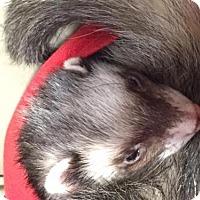 Adopt A Pet :: SUNNY - Dedham, MA