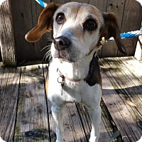 Beagle/Terrier (Unknown Type, Medium) Mix Dog for adoption in Carmichael, California - Sydney