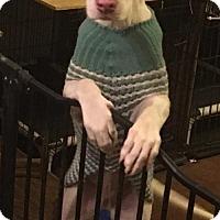 Adopt A Pet :: Bianca(CPR) - Von Ormy, TX