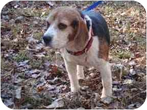 Beagle Mix Dog for adoption in Dumfries, Virginia - Tanner