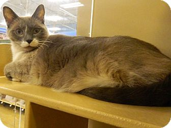 Snowshoe Cat for adoption in The Colony, Texas - Joey