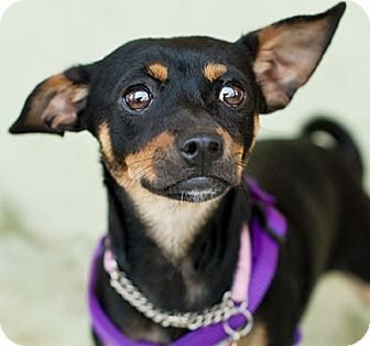 Miniature Pinscher Mix Dog for adoption in Studio City, California - Tippy