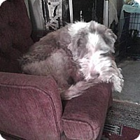 Adopt A Pet :: Holly - Wapwallopen, PA