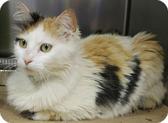 Domestic Mediumhair Cat for adoption in Raleigh, North Carolina - Asia