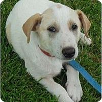 Adopt A Pet :: Rose - Normandy, TN