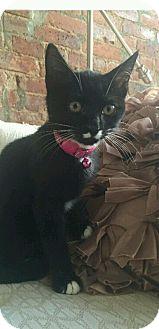 Domestic Shorthair Kitten for adoption in New York, New York - Halle Barry