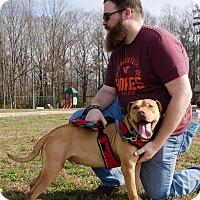 Boxer Mix Dog for adoption in Midlothian, Virginia - Maynard