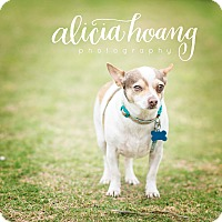 Adopt A Pet :: Dilly - Arlington, TX