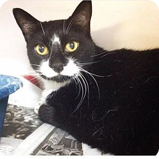 Domestic Shorthair Cat for adoption in Manhattan, New York - Trixie