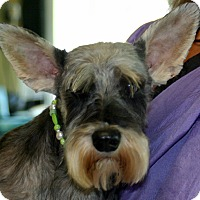Adopt A Pet :: Coming Attraction Schnauzer - Rowayton, CT