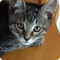 Adopt A Pet :: Tabby - Germantown, MD