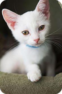 Domestic Shorthair Kitten for adoption in Harrisonburg, Virginia - Ponce de Leon