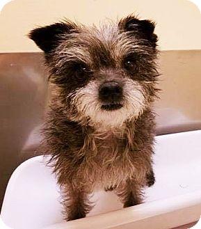 Terrier (Unknown Type, Small) Mix Dog for adoption in Seattle, Washington - Tiki