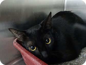 Domestic Shorthair Cat for adoption in Elyria, Ohio - Ebony
