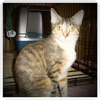 Domestic Shorthair Cat for adoption in Medford, Wisconsin - EVIE