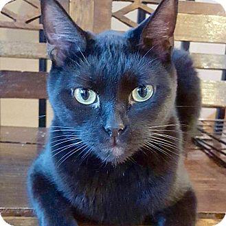 Domestic Shorthair Cat for adoption in McDonough, Georgia - Isiaih