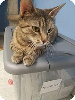 Domestic Shorthair Cat for adoption in Glen Mills, Pennsylvania - Sierra
