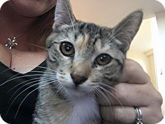 Domestic Shorthair Kitten for adoption in Rosamond, California - Wolverine