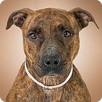 Adopt A Pet :: Celeste - Prescott, AZ
