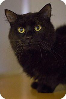 Domestic Mediumhair Cat for adoption in Grayslake, Illinois - Baggle