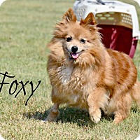 Adopt A Pet :: Foxy - Chester, CT
