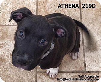 Pit Bull Terrier/Terrier (Unknown Type, Small) Mix Dog for adoption in Spring, Texas - Athena