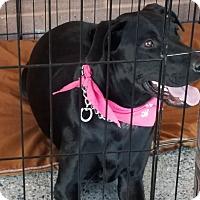 Labrador Retriever Mix Dog for adoption in Cave Creek, Arizona - Mojo