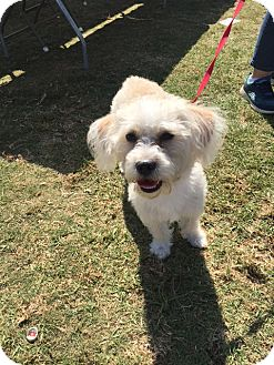 Maltese/Terrier (Unknown Type, Small) Mix Dog for adoption in Los Angeles, California - Nelly Rose