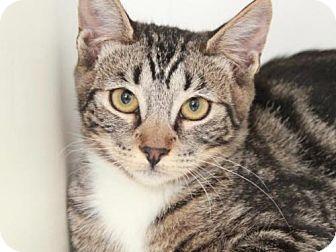 Domestic Mediumhair Cat for adoption in Camarillo, California - *BATHILDA