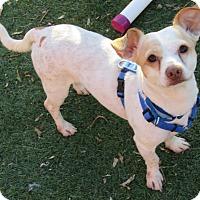 Adopt A Pet :: Acorn - Norwalk, CT