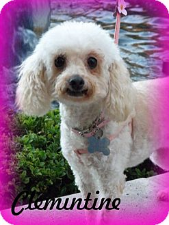 Maltese/Poodle (Miniature) Mix Dog for adoption in Anaheim Hills, California - Clemintine