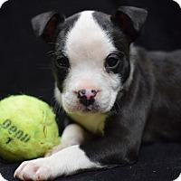 Adopt A Pet :: Catalina - Manhattan, NY