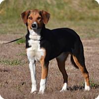 Adopt A Pet :: Josey - Lebanon, MO