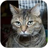 Domestic Shorthair Cat for adoption in Sacramento, California - Epona