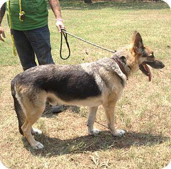 tex adopted dog keller tx german shepherd dog