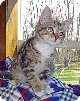 Domestic Shorthair Kitten for adoption in N. Billerica, Massachusetts - Brooklyn