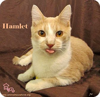 Domestic Shorthair Cat for adoption in St Louis, Missouri - Hamlet