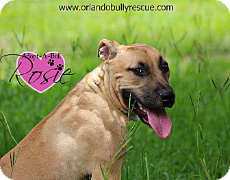 Dog Ready For Adoption Rhodesian Ridgeback Black Mouth Cur Mixed
