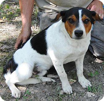 Australian Cattle Dog/Beagle Mix Dog for adoption in Florence, Kentucky - Beanz