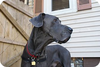 Great Dane Dog for adoption in Baden, Pennsylvania - Clyde
