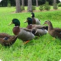 Duck for adoption in Indian Trail, North Carolina - Rudy and Rhetta Rouen
