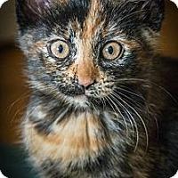 Adopt A Pet :: Rosa - Montreal, QC