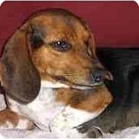Adopt A Pet :: Dixie - Novi, MI