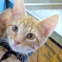 Domestic Mediumhair Kitten for adoption in Madisonville, Louisiana - Emma