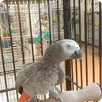 Adopt A Pet :: Kookie - Villa Park, IL