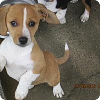 Adopt A Pet :: Agnes - Williston Park, NY